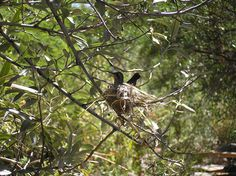 Hummingbird on a nest Sonora Desert Museum Tucson, AZ by HarmonyArtMom, via Flickr  Handbook of Nature Study. This pin is in response to my nest pin earlier.