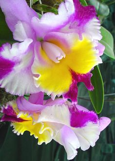 Cattleya - Orchids of Ecuador, by robinslater2007, via Flickr