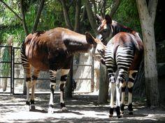 Okapi, San Diago Zoo.  Bucket list - Check
