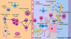 Major cells involved in the disease process in multiple sclerosis. Key: APC: antigen-presenting cell; CD8+ T cells: Cytotoxic T cells; TH1, TH2: regulatory (helper) T cells; VLA4: Very Late Antigen 4 adhesion molecule.