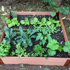 My first attempt at growing a vegetable garden. Only a week old!! I think I'm off to a great start! :-) Kale, Manoa Lettuce, Cucumbers, Squash, Snap peas, Carrots, Okra, Jalapeños, Sweet basil, Parsley, and Lavender.