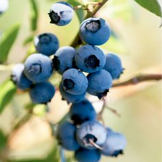 Five Easy Steps for Growing Blueberries
