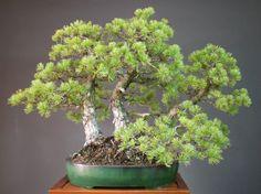 Clump style Japanese White Pine - Michael Bonsai