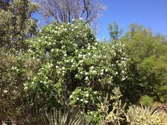 Texas Olive (Cordia boissieri)-A stunning flowering shrub or small tree with exquisite white flowers that appear throughout the year. It does best if planted in full sun and adaptable to most soil types. The landscape uses of Texas Olive are many and it is quite effective as a patio tree or a shrub to screen unsightly areas.