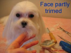 Maltese Puppy Cut Pictorial - Photos showing the steps for doing a puppy cut clip on a Maltese.