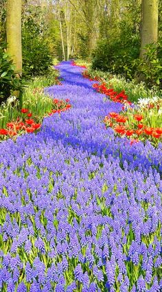 wow! I'm not a purple person, but this is stunning - Keukenhof in Lisse, Netherlands • photo: Riccardo on Flickr