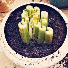 How to regrow veggies from the grocery store. I am trying celery, leeks and green onion in my kitchen!