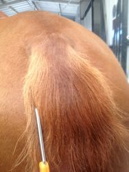 How to trim up the top of your horse's tail with scissors - skip pulling and clippers!