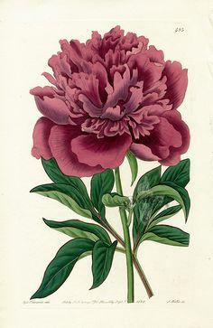 chines peoni, flower