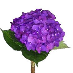 Dark Violet Hydrangea  possible wedding flowers..