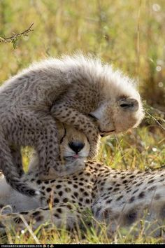 big cats, cheetahs, mothers, children, cubs, kids, baby animals, pay attention, hat