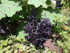 Coleus 'Black Patent Leather' or 'Shiny Shoes' in the Ripley Garden. Photo by DC Tropics.