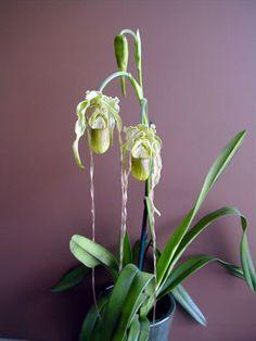 phragmipedium wallisii, my all-time favorite orchid
