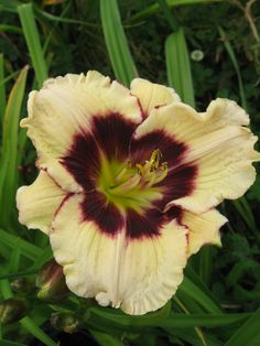 Daylily Celebration of Angels