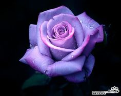 Image detail for -Purple Rose