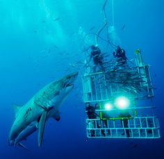 CONFRONTING: Cage divers confront a great white shark on the Isla de Guadalupe. (Photo and caption by David Litchfield) thats huge!