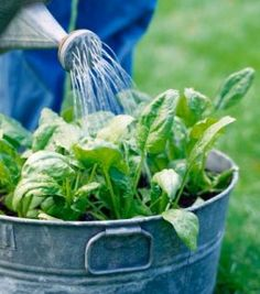66 Things You Can Grow In Containers. This site is amazing who knew!!