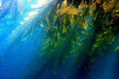 Giant kelp by Josh Pederson.