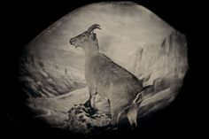 The bucardo, or Pyrenean ibex, lived high in the Pyrenees until its extinction in 2000. Three years later researchers attempted to clone Celia, the last bucardo. The clone died minutes after birth. Taxidermic specimen, Regional Government of Aragon, Spain