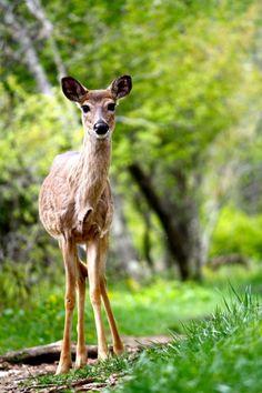 Bambi's girl, Faline