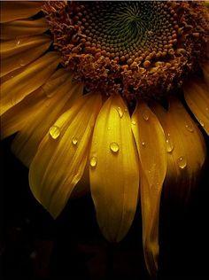 SUNFLOWER (flower/seeds/oil) Fire/Sun