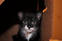 Rosie is an adoptable Tuxedo Cat in New York, NY. Hi My name is Rosie and I am a sweet little SEVEN WEEK old female kitten I have four brothers and sisters whom I love to play with so would love to be...