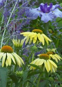 Yellow coneflowers pair well with blue Iris & Russian Sage (Perovskia)