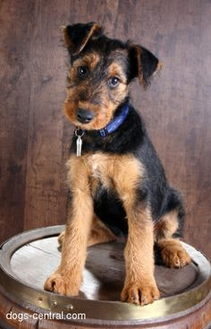 All I want for my birthday is an Airedale Terrier! Please please please! :) birthday, terriers, dog anim, airedal puppi, airedal terrier, anim airedal, terrier dog, airedal lover, airedale terrier
