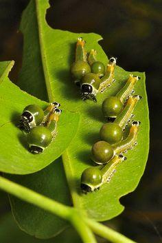 Nolid Moth Caterpillars (Nolidae)