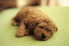 Poodle Puppy ... Dog Training Video Portal http://dogtrainingvideos...