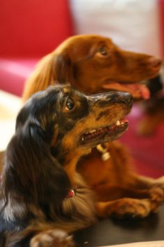 Dog - Long Haired Dachshund...