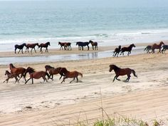 Wild Horses in Outter Banks of NC. So awesome.