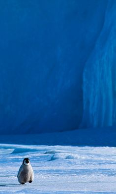 Emperor Chick, Snow Hill Island, Antarctica