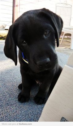 Black lab puppy. Awwwww for my son. anim, pet, puppy face, puppy dog eyes, puppy pictures, lab puppies, labrador puppies, labrador retrievers, black labs