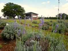 Hill Country Lavender farm comes back from drought