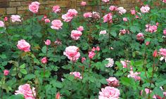 "Flower carpet rose Rosa ""Noatraum"" Zones 5–10 ""No matter what soil you plant it in, this glamorous — and disease-resistant — ground cover rewards you with tons of roses two to three times a year."" — Jamie Durie, Los Angeles"
