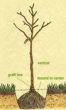 The Homestead Survival: Great Information On Growing Fruit Trees