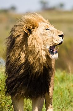 """""""Nam-myoho-renge-kyo is like the roar of a lion. What sickness can therefore be an obstacle?"""" ~Nichiren"""