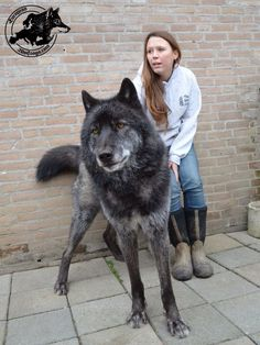 3 Big wolf hybrid dogs with their masters | The Planet of Pets