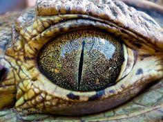 Alligator eye map, allig eye, the road