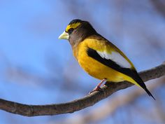 The most glamorous of our winter birds, the evening grosbeak, isn't extinct or even close. But it's in a steep decline in many places.