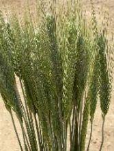 green wheat @Whitney Tawney