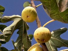 Add figs to your fruit bounty. Grow a fig tree -- http://blog.hgtvgardens.com/twig-newton-how-to-grow-a-fig-tree/?soc=pinterest