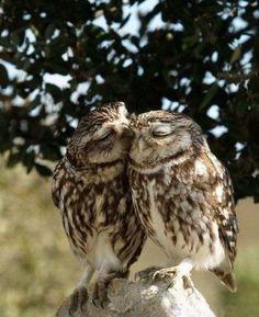 Owls awww, bird, owl kiss, anim, critter, beauti, ador, owls, thing