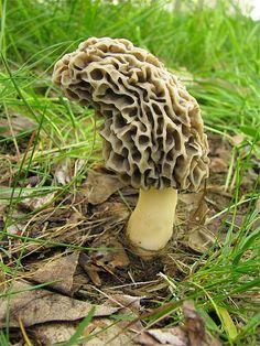 White Morel Mushroom