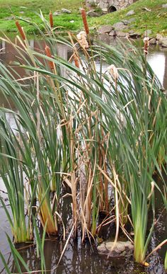 Cattails 101 how to harvest and prepare this edible plant. Use...