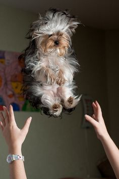 I think it's a yorkie. fluffi, funny pets, little puppies, doggi, ador, baby animals, animal babies, fluffy puppies, little dogs