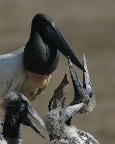 Vogels in de Pantanal Pantanal in Brazilië http://www.naturescanner.nl/zuid-amerika/brazilie/pantanal-brazilie