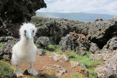Booby chick | Christmas Island National Park