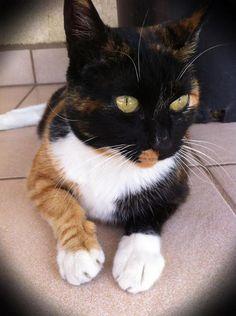 calico cat. lovely clear markings http://www.kittyinny.com/
